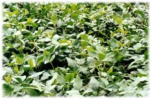 台南7號植體鮮草量高,耐濕、耐旱及耐冷,對雜草抑制力優於其他綠肥大豆品種