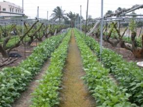 台南7號莖葉繁茂,果樹旁條播,兩個月可全面覆蓋