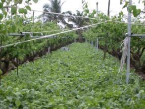 台南7號適合果園覆蓋,以減少果園除草費用