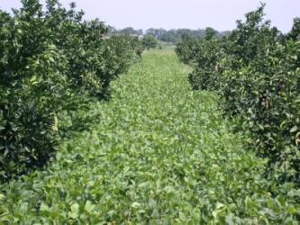 綠肥大豆新品種台南7號